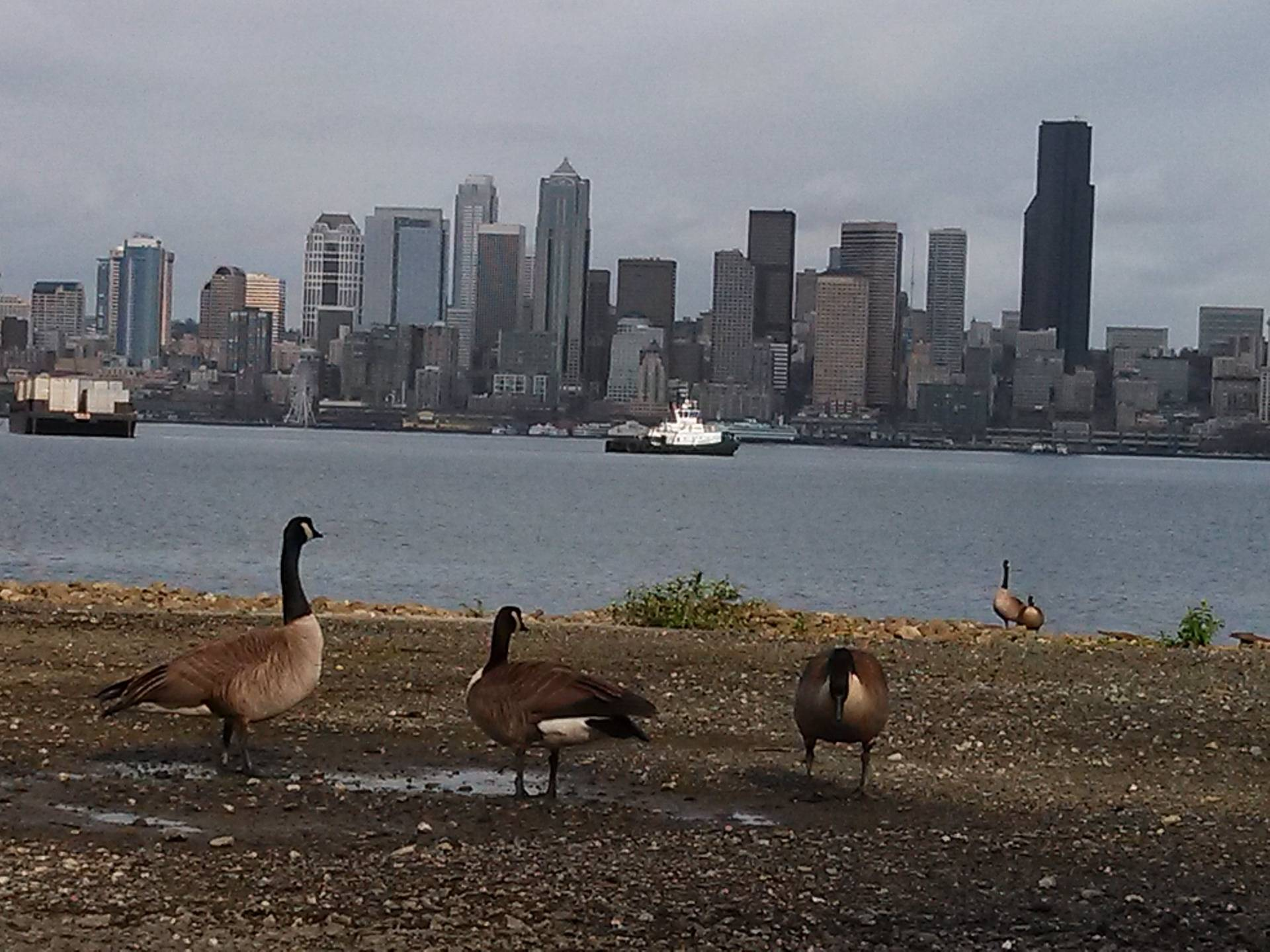 Alki Ducks