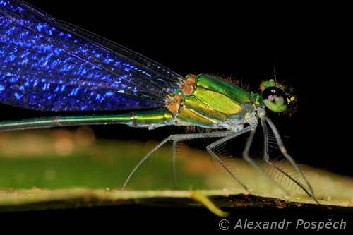 Damselfly, East Kalimantan, Indonesia