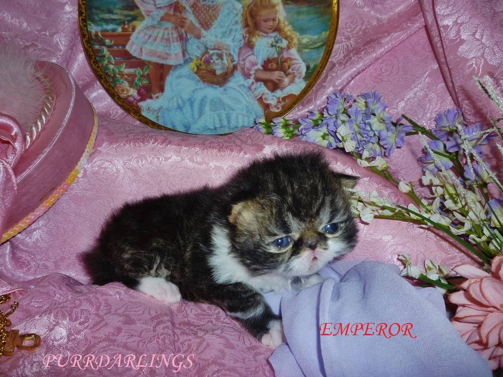 """""""EMPEROR""""FANTASTIC UNIQUE BLACK/BROWN TABBY/WHITE MALE IS RESERVED FOR VERONICA"""