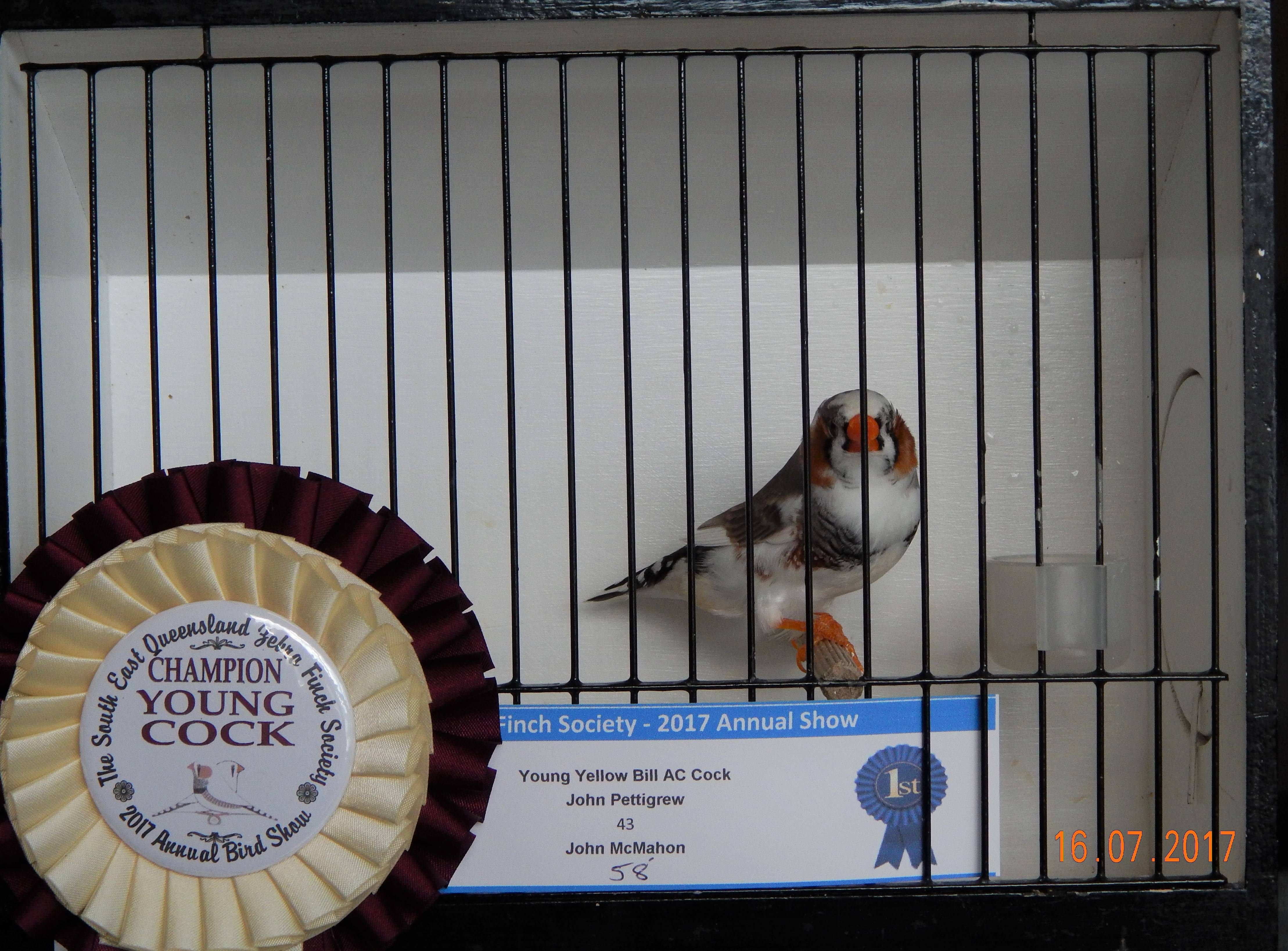 Champion Young Cock