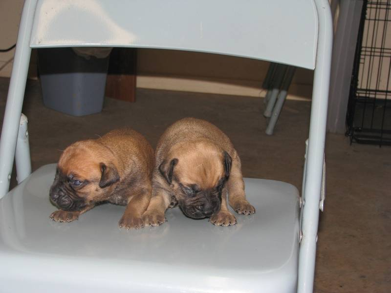 Boy bullmastiff puppies