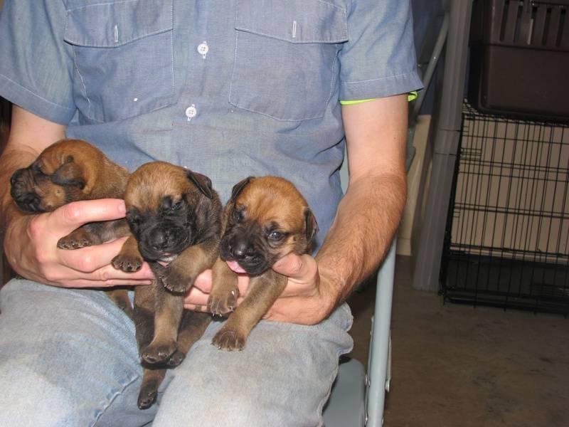 3 girl bullmastiff puppies