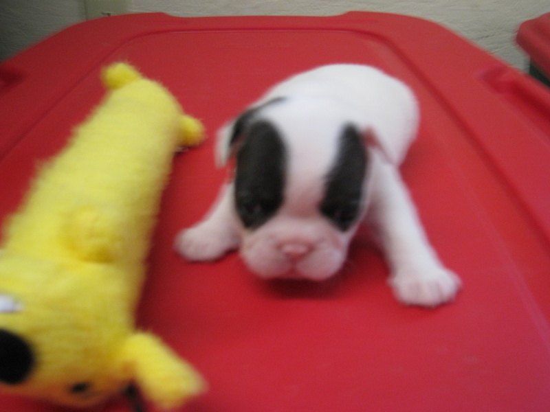 Male French Bulldog born 6/4/11