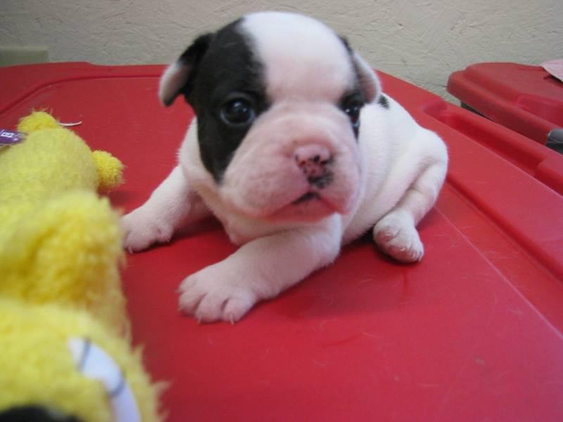 Female French Bulldog born 6/4/11