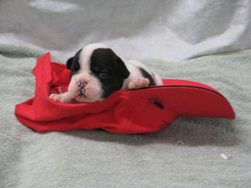 AKC female French Bulldog born 6-4-11