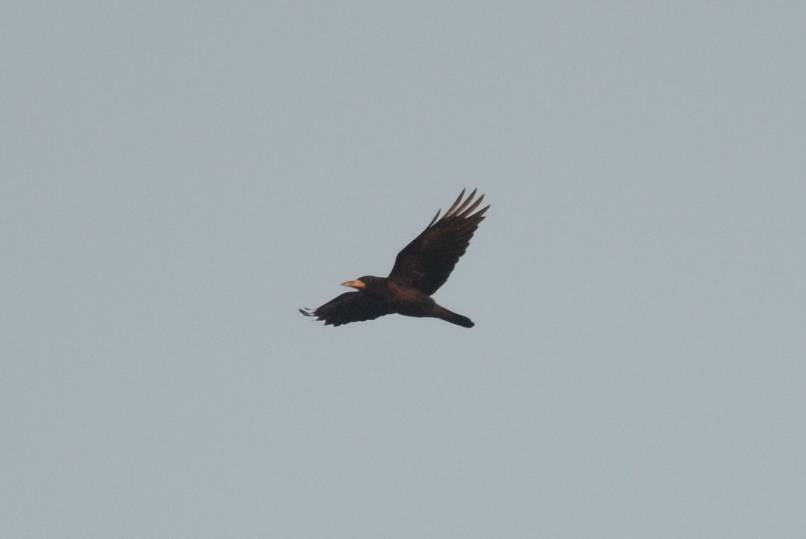 Rook  (Corbeau freux)