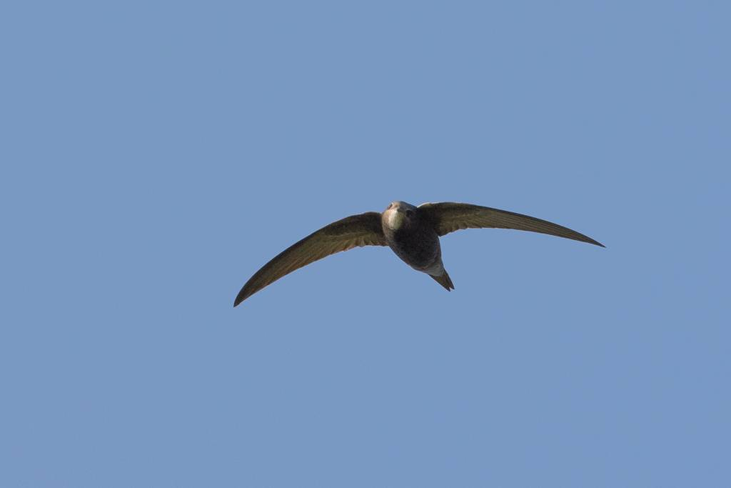 Common Swift (Martinet noir)