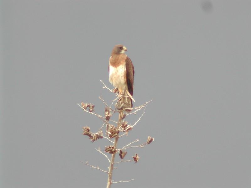 Swainson's Hawk  (Buse de Swainson)