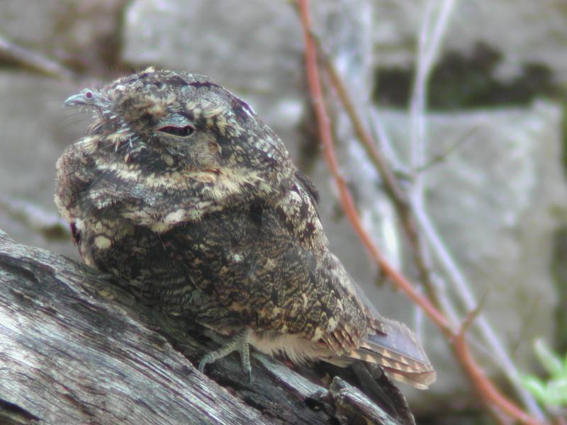 Common Poorwill  (Engoulevent de Nuttall)