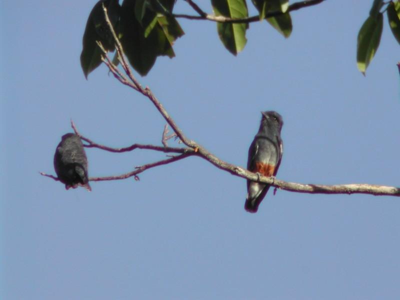 Swallow-wing  (Barbacou à croupion blanc)
