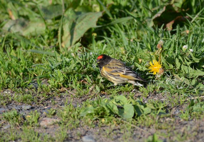 Fire-fronted Serin