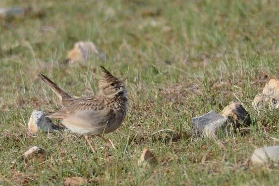 Crested Lark  (COCHEVIS HUPPE)