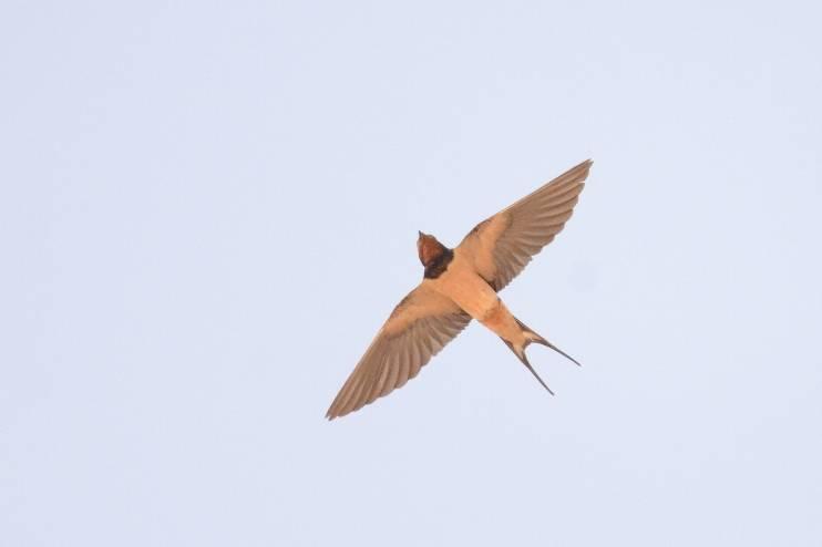Barn Swallow  (HIRONDELLE RUSTIQUE)