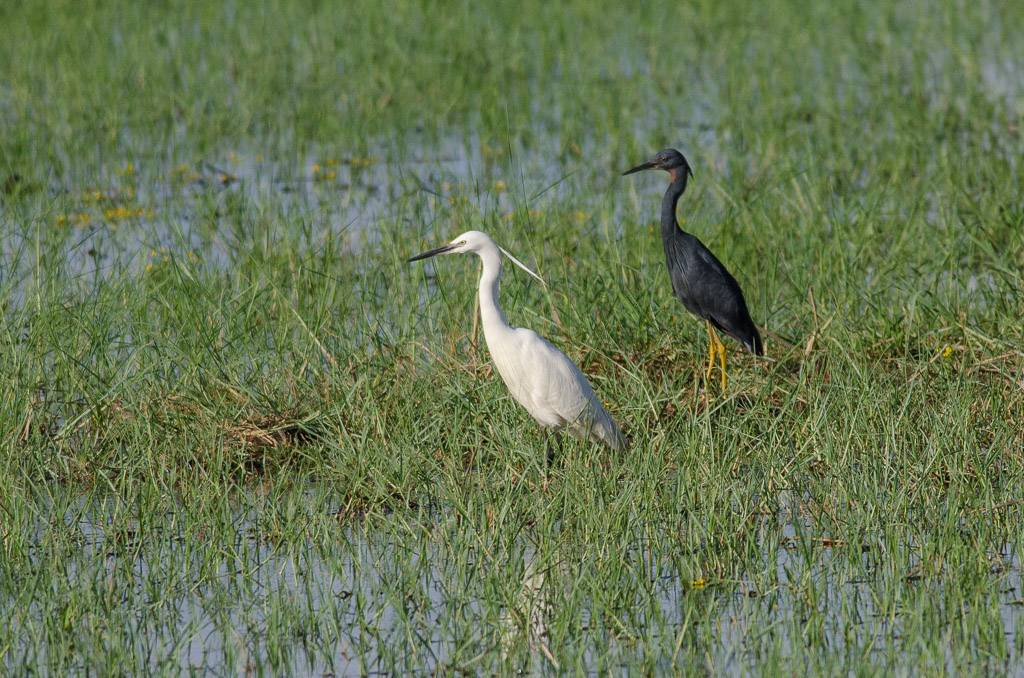 Slaty Egret with Little Egret