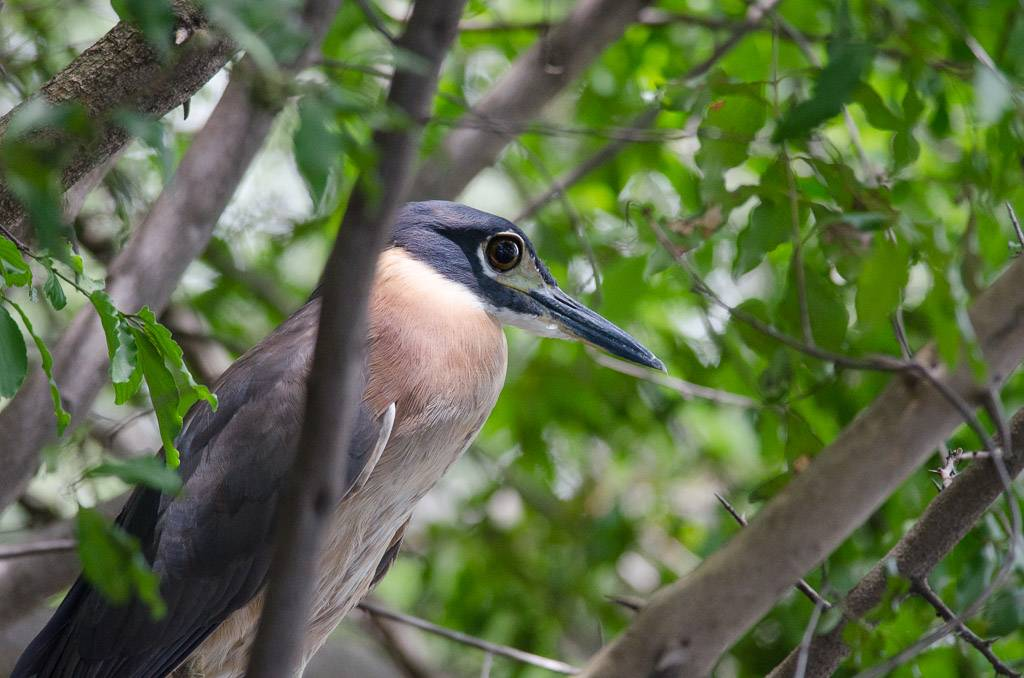 White-backed Night-Heron