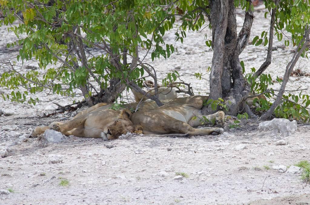 er, Lions
