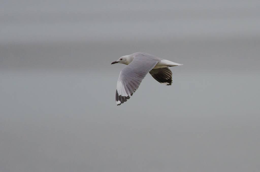 Hautlaub's Gull