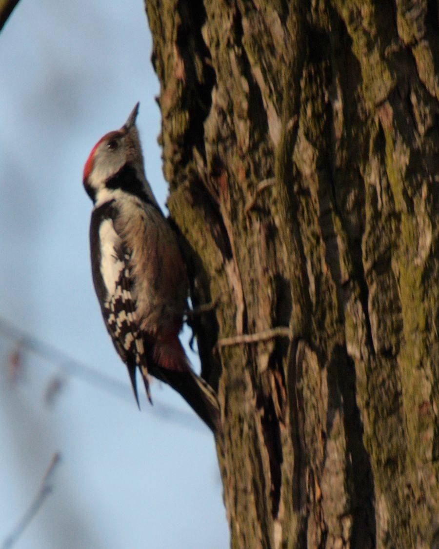Middle Spotted Woodpecker   (Pic mar)