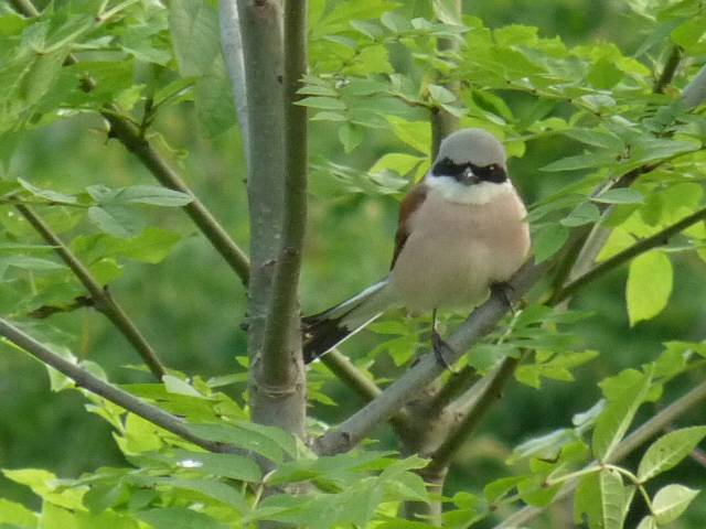 Red-backed Shrike   (PIE-GRIECHE ECORCHEUR)