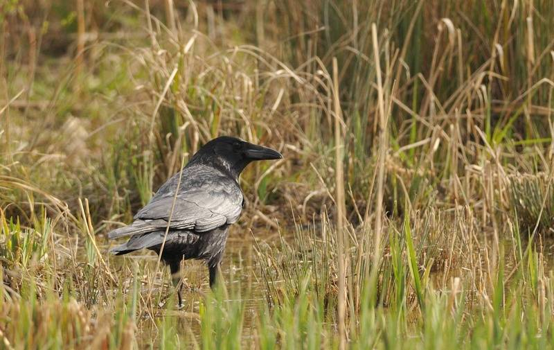 Carrion Crow  (Corneille noire)