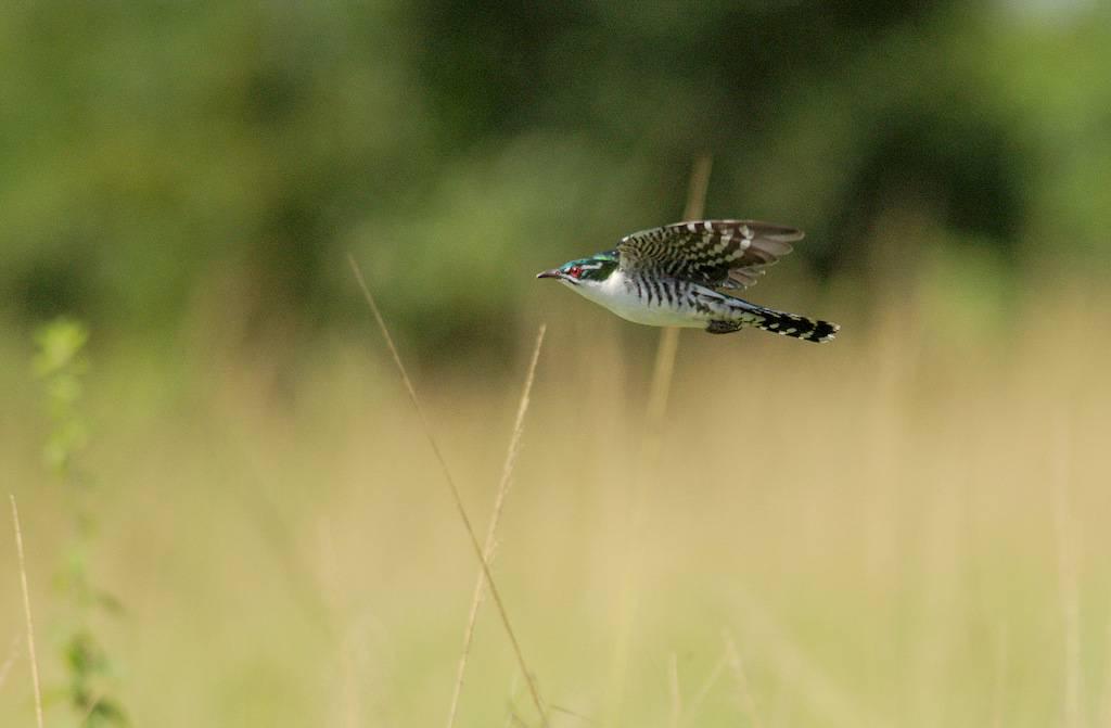 Didric Cuckoo