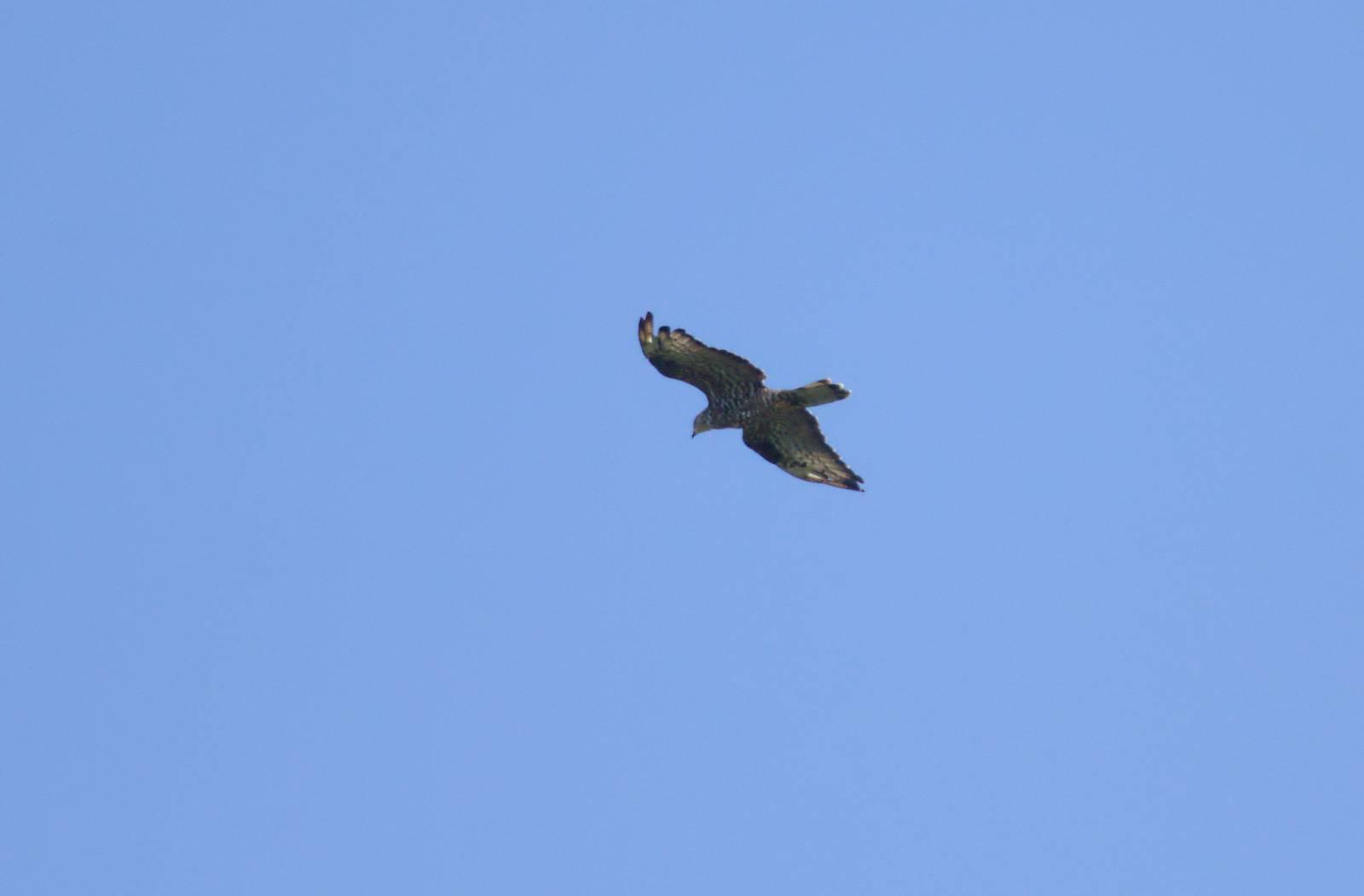 European Honey-buzzard