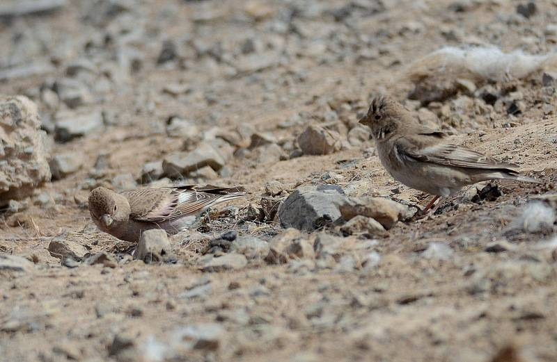 Mongolian Finch