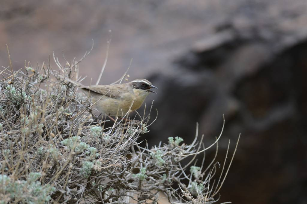 Brown Accentor