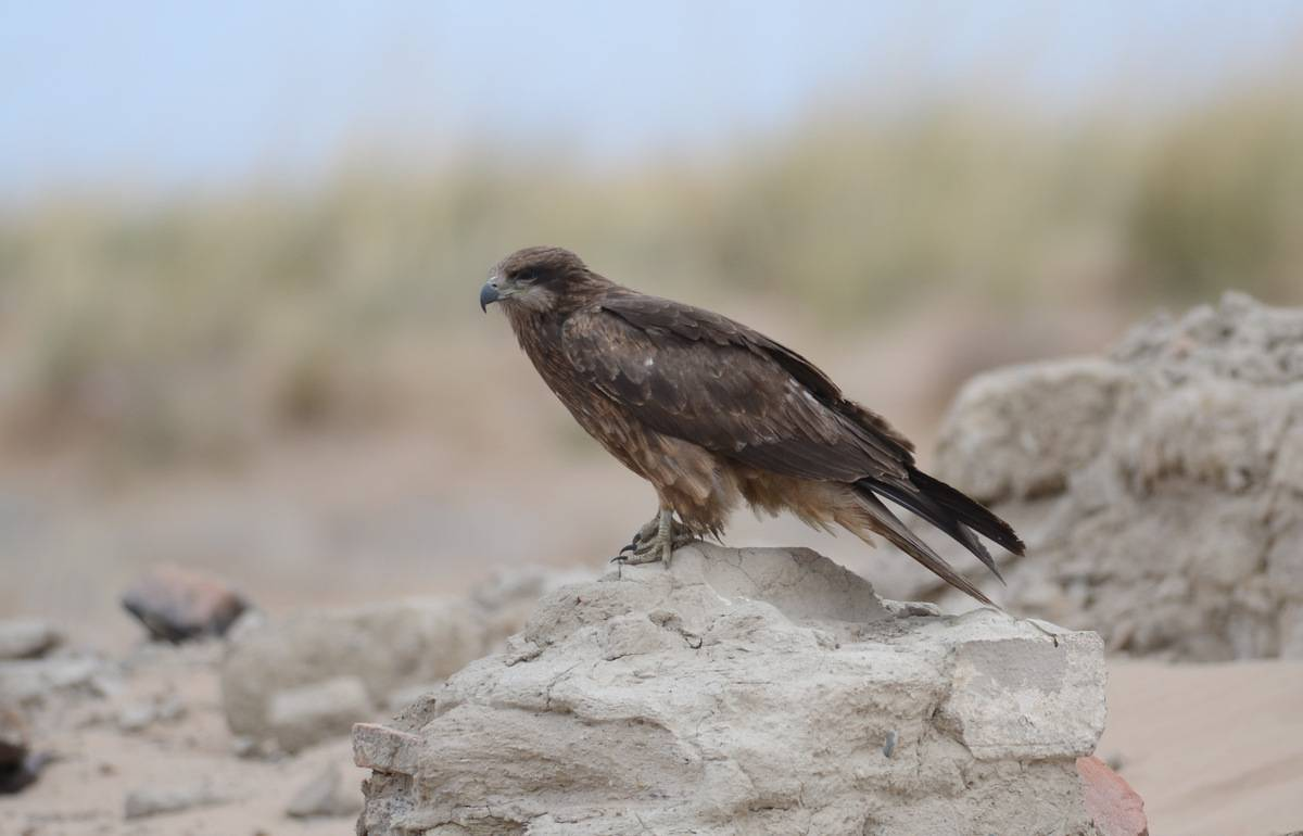 Black Kite (lineatus)