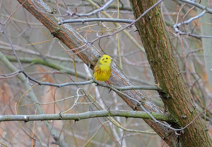 Yellowhammer  (Bruant jaune)
