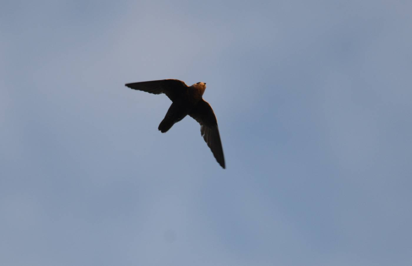 Great Dusky Swift