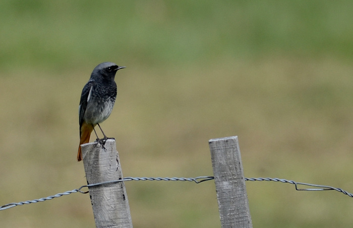 Black Redstart (Rougequeue noir)