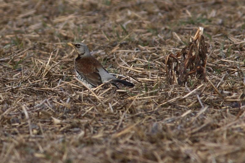 Fieldfare (Grive litorne)
