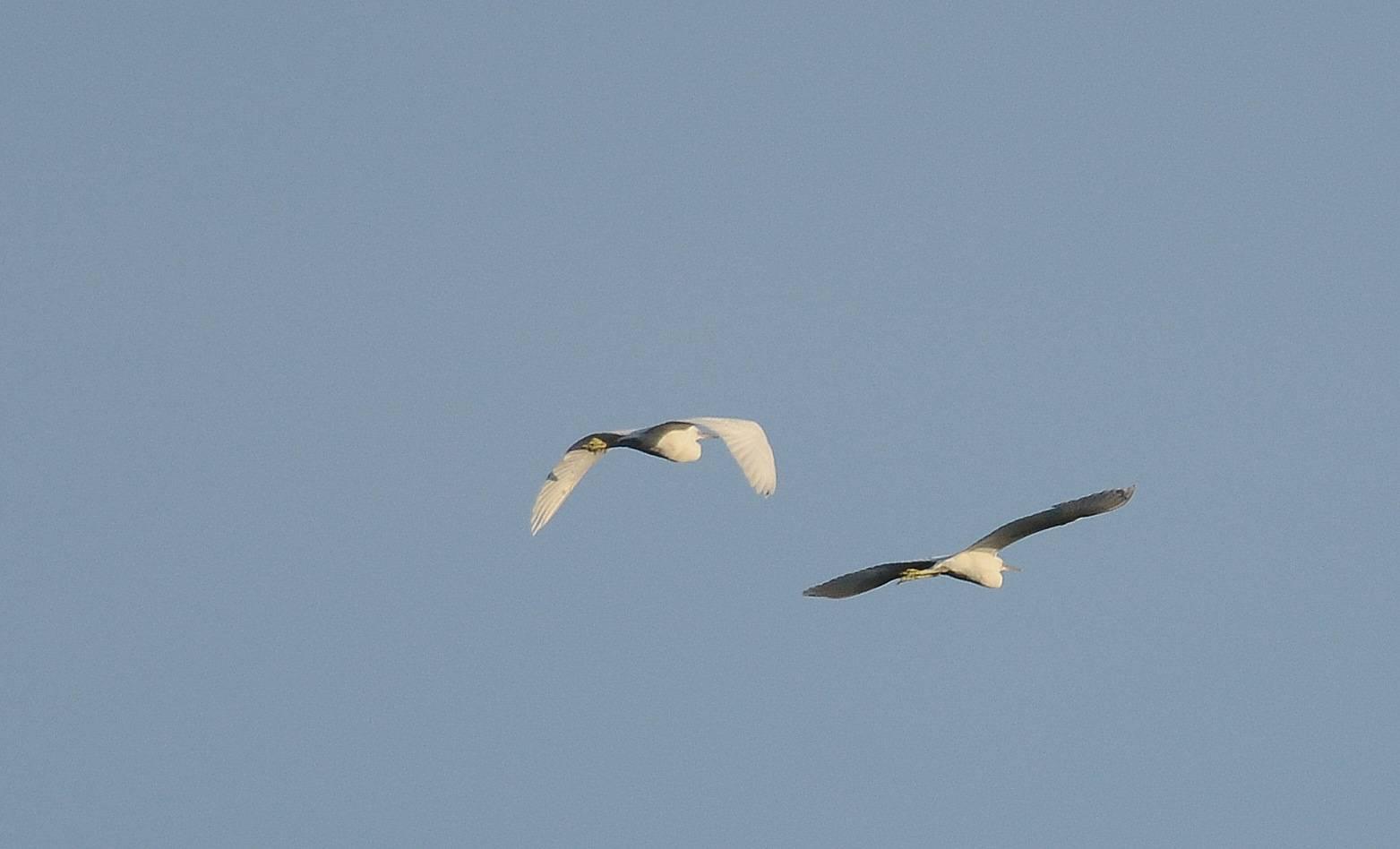 Little Egret (Aigrette garzette)