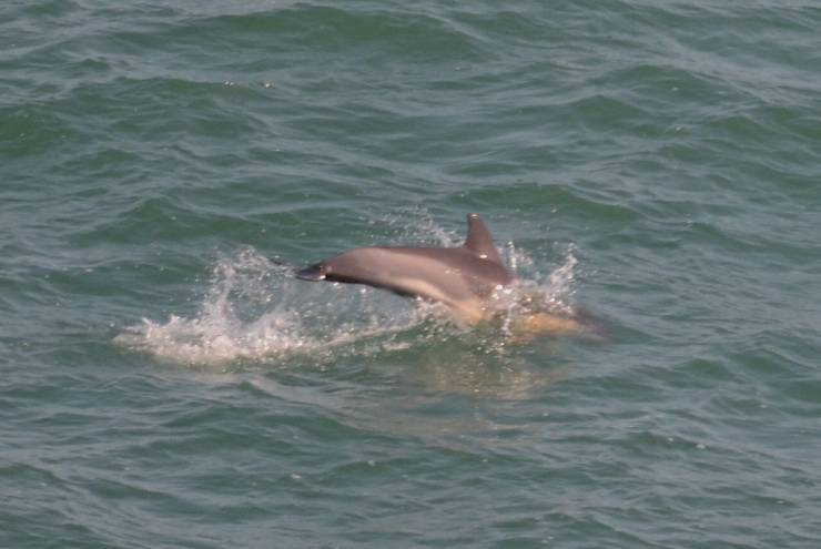 Common Dolphin  -  DAUPHIN COMMUN