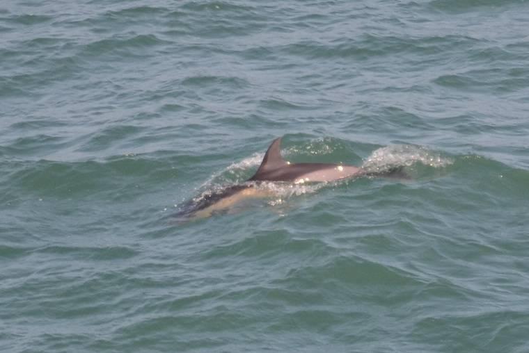 Common Dolphin  -  DAUPHIN COMMUN