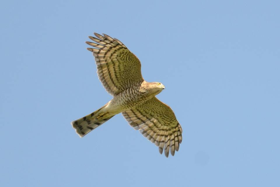 Eurasian Sparrowhawk   (EPERVIER D'EUROPE)