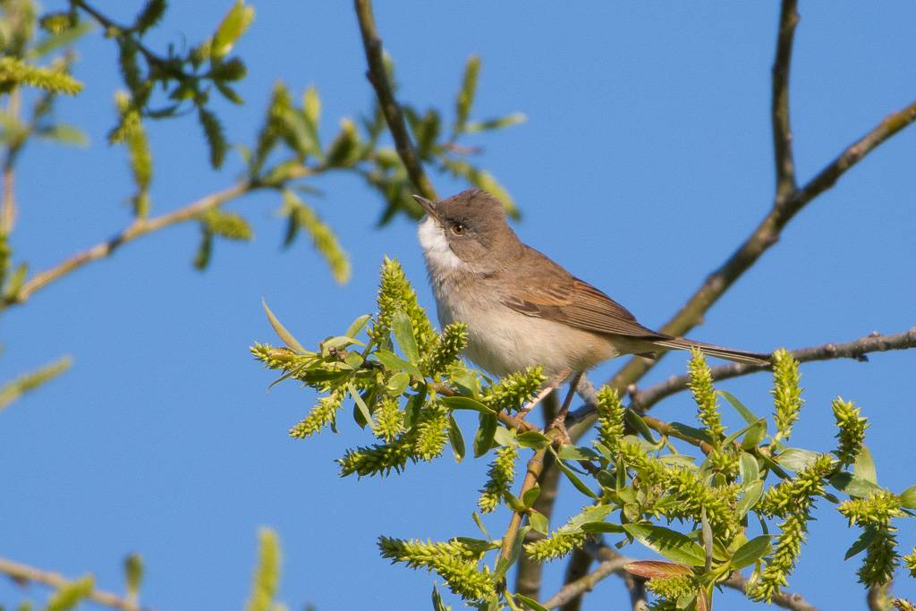 Common Whitethroat  (Fauvette grisette)