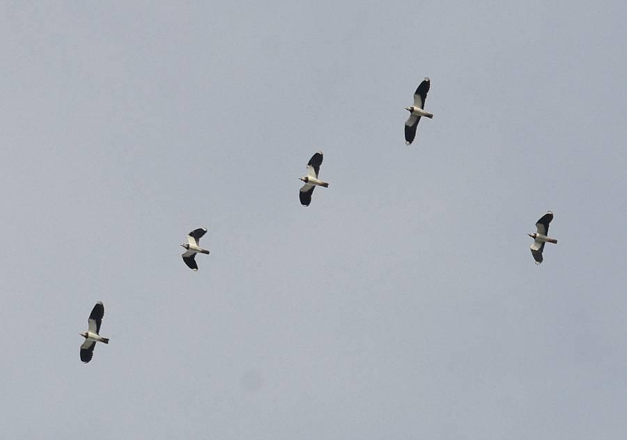 Northern Lapwing  (VANNEAU HUPPE)