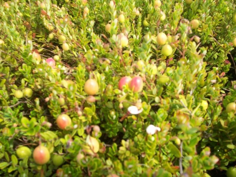Blushing Berries