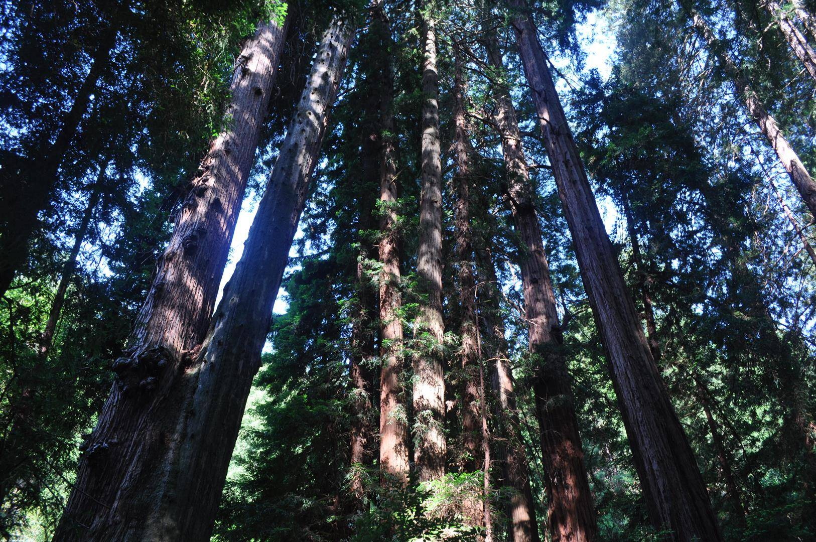 Muir Woods Redwoods 1