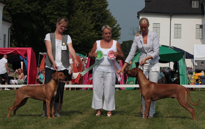 "Kadamo Here Comes Hudson ""Diezel"" BEST OF BREED puppy and sister Kadamo Thinking of Tilley ""Tilly"" BOS at the Swedish Ridgeback Speciality"