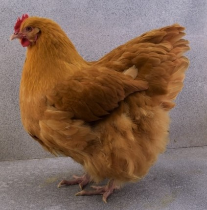 BB Buff Orpington Pullet by Beau Schacherer