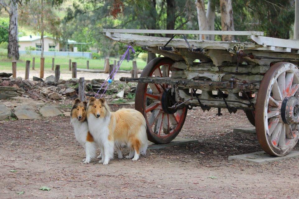 Lydia & Spinner 'pull' the Bullock Wagon in Gundagai, NSW
