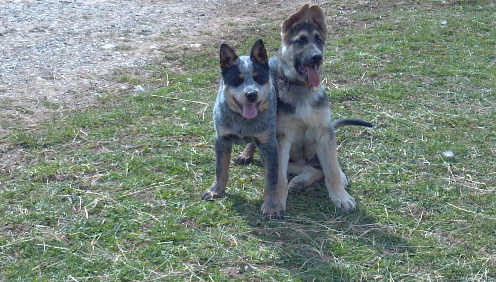 Grit and his German Shepherd buddy