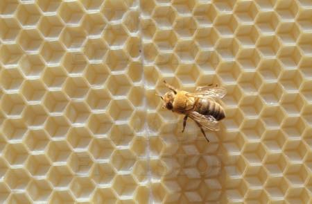 Honeybee on foundation