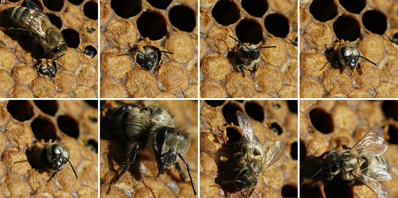 Honey bee emerging from its cell!