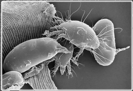 Acarapis Woodi - Tracheal Mite