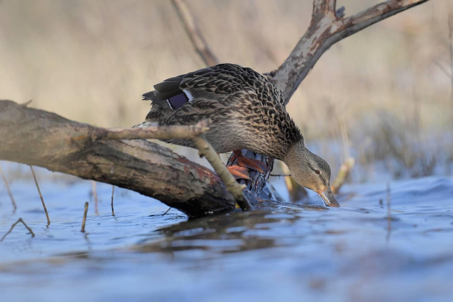Cane - Female duck.