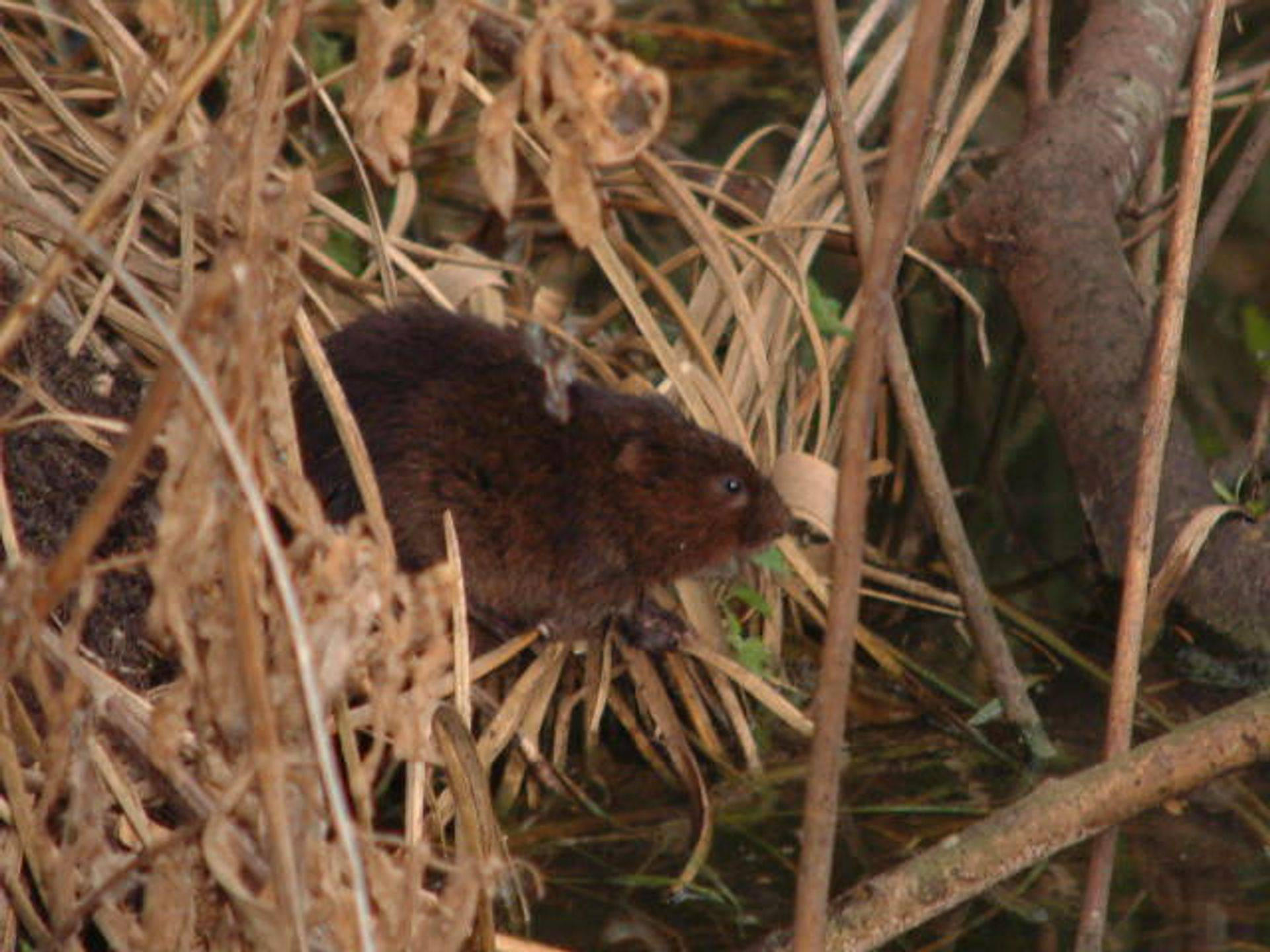 Not a rat but a water vole